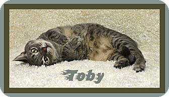 Domestic Shorthair Cat for adoption in Tracy, California - Toby aka Tailspin