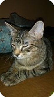 Domestic Shorthair Kitten for adoption in McHenry, Illinois - Britney