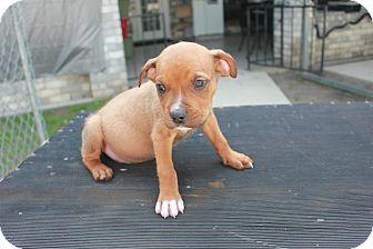 German Shepherd Dog/Boxer Mix Puppy for adoption in San Antonio, Texas - Larry