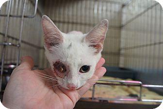 Domestic Shorthair Kitten for adoption in Henderson, North Carolina - Popeye*