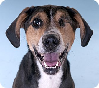 Hound (Unknown Type)/Shepherd (Unknown Type) Mix Dog for adoption in Chicago, Illinois - Buddy