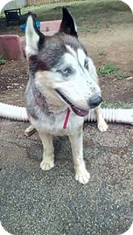 Siberian Husky Dog for adoption in Red Lion, Pennsylvania - GUS