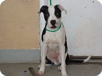 Boxer/Pit Bull Terrier Mix Dog for adoption in Lewisburg, Tennessee - Spartan