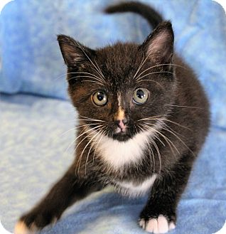 Domestic Shorthair Kitten for adoption in Greensboro, North Carolina - Harry
