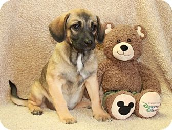 Pug/Beagle Mix Puppy for adoption in Brattleboro, Vermont - Gayle