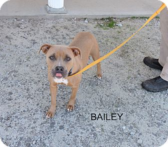 American Staffordshire Terrier Mix Dog for adoption in Washington, Georgia - Bailey