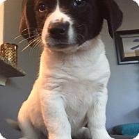 Adopt A Pet :: Pippy - Austin, TX