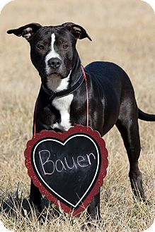 Pit Bull Terrier Mix Dog for adoption in Broken Arrow, Oklahoma - Bauer