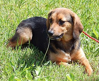 Shepherd (Unknown Type)/Beagle Mix Puppy for adoption in Sussex, New Jersey - Beatrice (20 lb) Sweet Pea