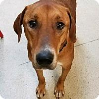 Adopt A Pet :: Penny - Pottstown, PA