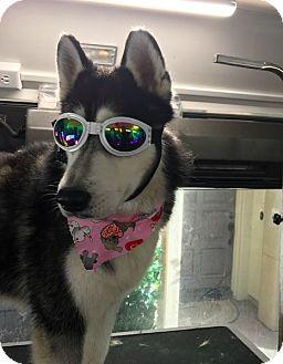 Siberian Husky Dog for adoption in Yucca Valley, California - BEAR