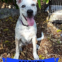 Adopt A Pet :: Mickey - Key Largo, FL