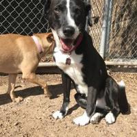Adopt A Pet :: Cira - Scottsdale, AZ