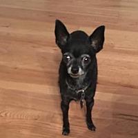 Adopt A Pet :: Frisky - Westminster, CO