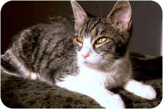 American Shorthair Cat for adoption in Alexandria, Virginia - Murtie