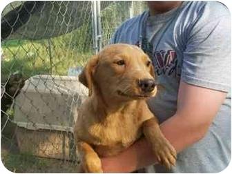 Weimaraner/Labrador Retriever Mix Dog for adoption in Deer, Arkansas - Red