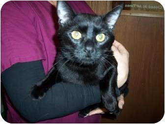 Domestic Shorthair Cat for adoption in New London, Wisconsin - Chuck
