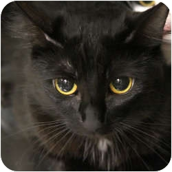 Domestic Shorthair Cat for adoption in Yorba Linda, California - Gigi