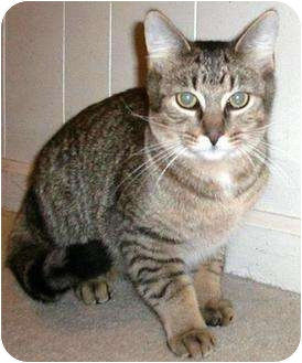 Domestic Shorthair Cat for adoption in Troy, Michigan - Banzai