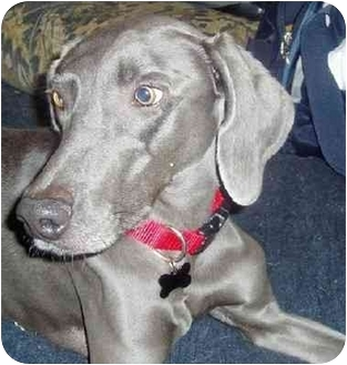 Weimaraner Dog for adoption in Grand Haven, Michigan - Stormie