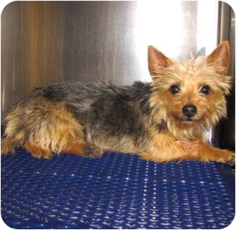 Yorkie, Yorkshire Terrier Mix Dog for adoption in New Brighton, Minnesota - Paris
