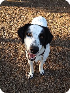 Setter (Unknown Type) Mix Dog for adoption in Williston, Vermont - Gabby