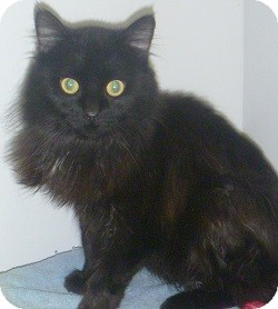 Domestic Longhair Cat for adoption in Hamburg, New York - Wesley