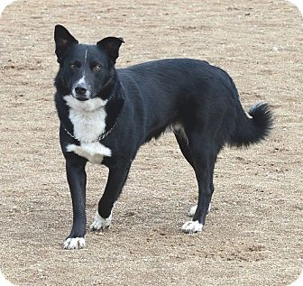 Border Collie Dog for adoption in Gardnerville, Nevada - Bear