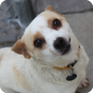 Chihuahua Mix Dog for adoption in Naperville, Illinois - Alice