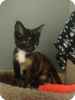 Domestic Shorthair Kitten for adoption in Monroe, Georgia - Prentiss