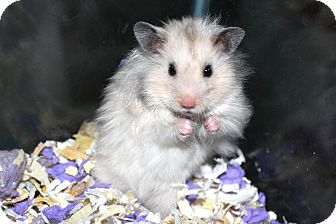 Hamster for adoption in Scotch Plains, New Jersey - Binky