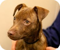 Whippet Mix Puppy for adoption in Berkeley, California - Joey