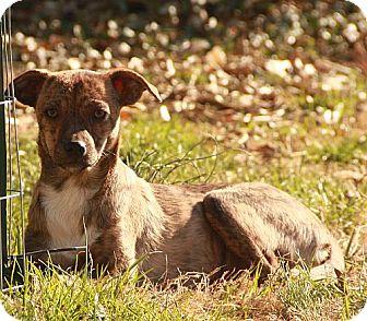 Whippet/Feist Mix Dog for adoption in Syracuse, New York - Bambi ($200 adoption fee)