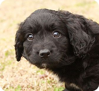 Corgi/Spaniel (Unknown Type) Mix Puppy for adoption in Spring Valley, New York - Icee (Esther)