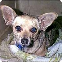 Adopt A Pet :: Shotsie - dewey, AZ