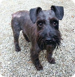 Miniature Schnauzer Dog for adoption in Irwin, Pennsylvania - Toby