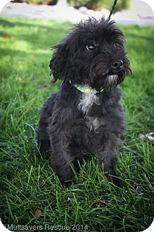 Schnauzer (Miniature)/Poodle (Miniature) Mix Puppy for adoption in Broomfield, Colorado - Pepsi