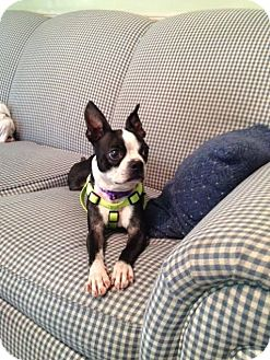 Boston Terrier/French Bulldog Mix Dog for adoption in Union City, Tennessee - Lina