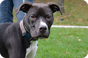 Boxer/Labrador Retriever Mix Dog for adoption in Brookhaven, New York - Winston