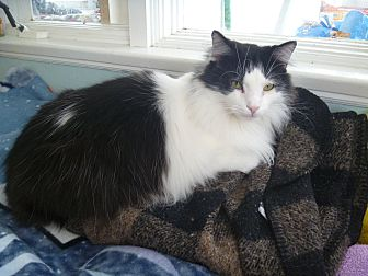 Domestic Longhair Cat for adoption in MADISON, Ohio - Maxwell