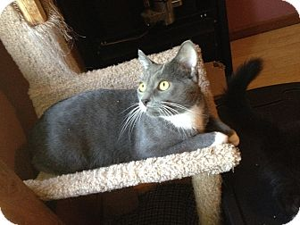 Domestic Shorthair Cat for adoption in West Lafayette, Indiana - Boon