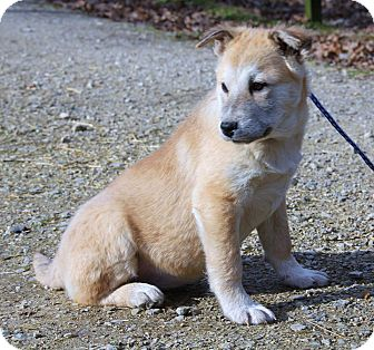 Husky/Shepherd (Unknown Type) Mix Puppy for adoption in Stamford, Connecticut - SUNI