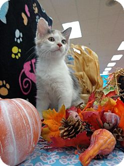 Domestic Mediumhair Kitten for adoption in Satellite Beach, Florida - Jetti