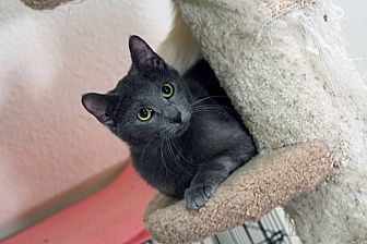 Russian Blue Cat for adoption in St. Louis, Missouri - Hannah
