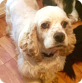 Cocker Spaniel Dog for adoption in Haslet, Texas - Harriet