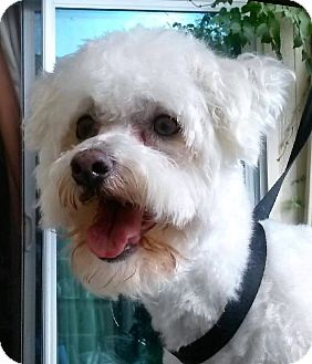 Bichon Frise/Poodle (Toy or Tea Cup) Mix Dog for adoption in Dallas, Texas - Griffin