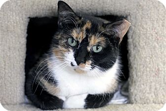 Domestic Shorthair Cat for adoption in Chicago, Illinois - Adder