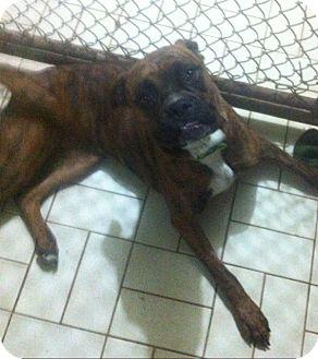 Boxer/Bulldog Mix Dog for adoption in Treton, Ontario - Brindy