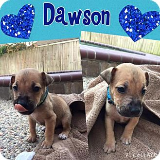 Doberman Pinscher/Bull Terrier Mix Puppy for adoption in Houston, Texas - Dawson