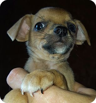Chihuahua/Terrier (Unknown Type, Small) Mix Puppy for adoption in Hagerstown, Maryland - Levin